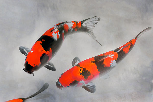 calico koi fish watercolor illustration by jpldesigns