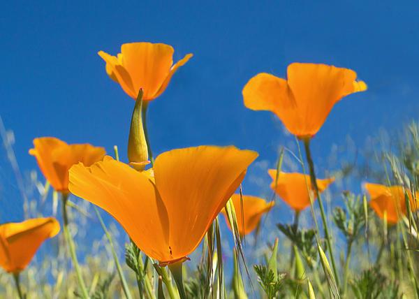 California Poppy 2 Print by Rima Biswas