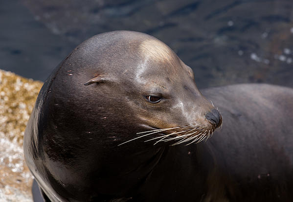 John Daly - California Sea Lion