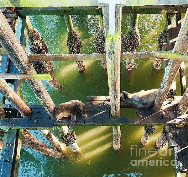 California Sealions Under The Santa Cruz Pier Print by Artist and Photographer Laura Wrede