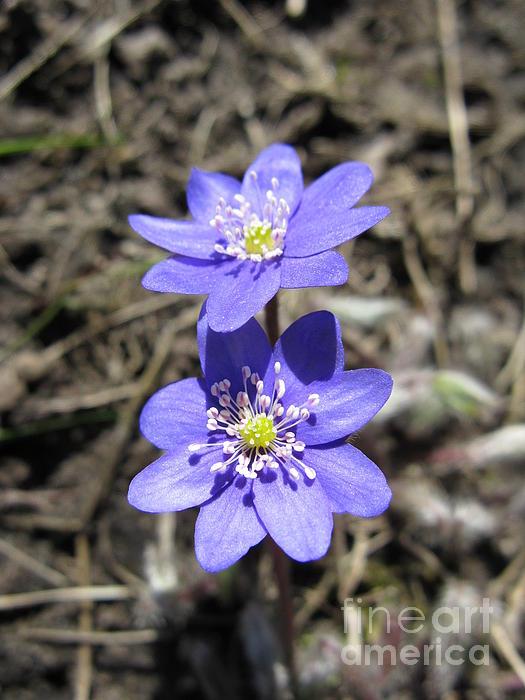 Calling Spring. Two Violets Print by Ausra Paulauskaite