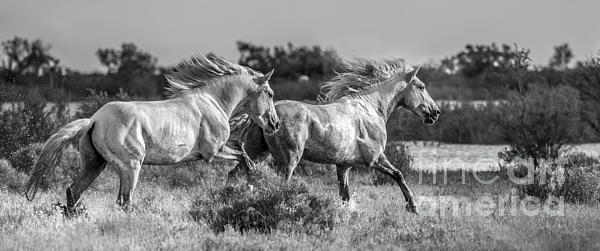 Camargue Stallions Print by Heather Swan