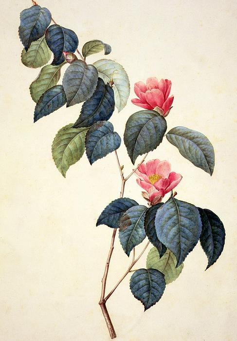 Camellia Japonica Print by Pierre Joseph Redoute