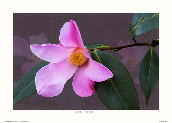 Camellia 'tulip Time' Print by Saxon Holt