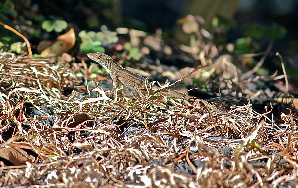 Cyril Maza - Camouflaged Lizard