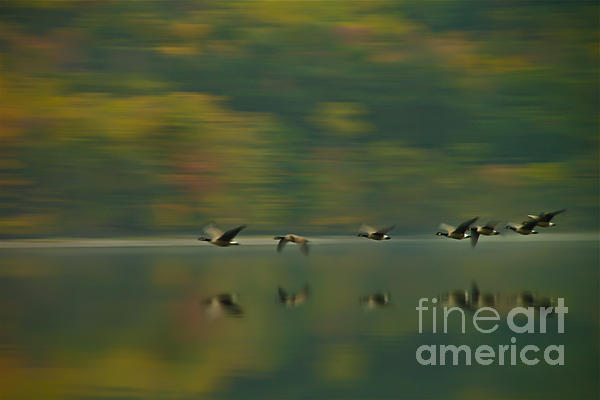 Canada Geese Whoosh Print by Steve Clough