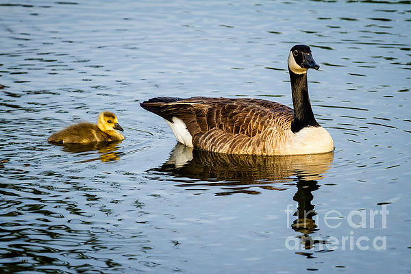 Canada Goose And Gosling Print by Dawna  Moore Photography