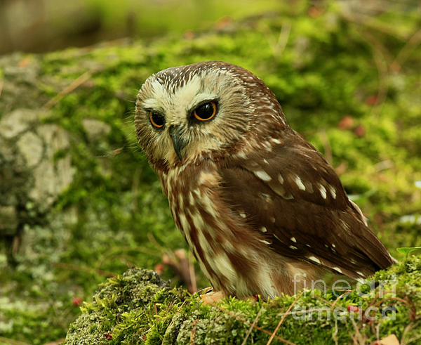 Canada's Smallest Owl - Saw Whet Owl Print by Inspired Nature Photography By Shelley Myke