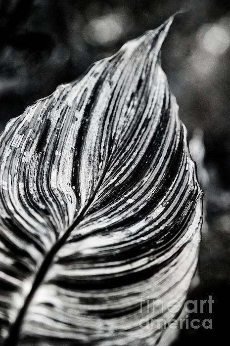 Canna Leaf Print by Venetta Archer