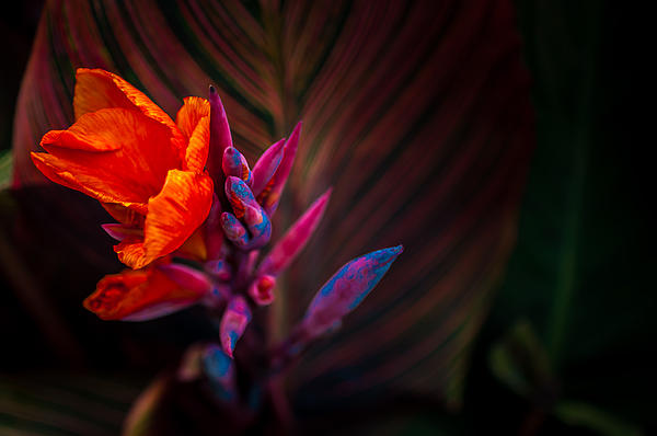 Canna Lilly At Freimann Square Print by Gene Sherrill