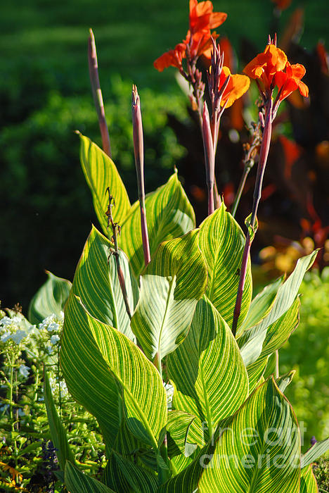 Canna Lily Print by Optical Playground By MP Ray