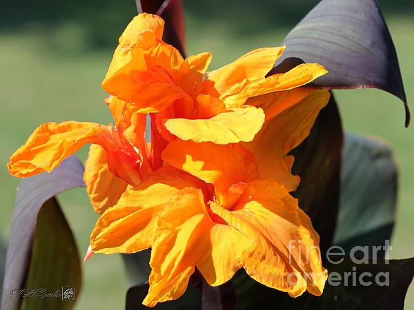 Canna Lily Named Wyoming Print by J McCombie