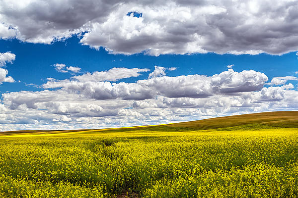 Robert Bynum - Canola Fields