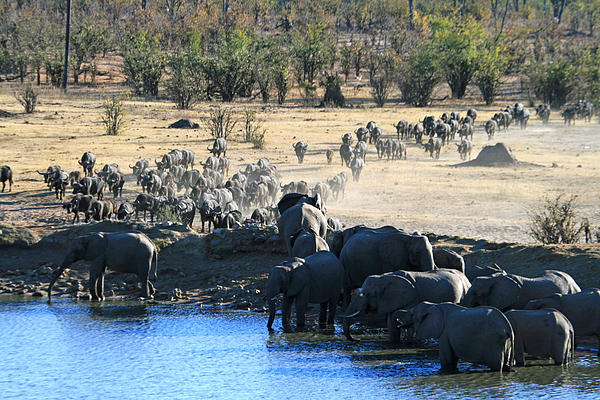 Cape Buffalo And Elephants Compete For Water Print by Pamela Buol