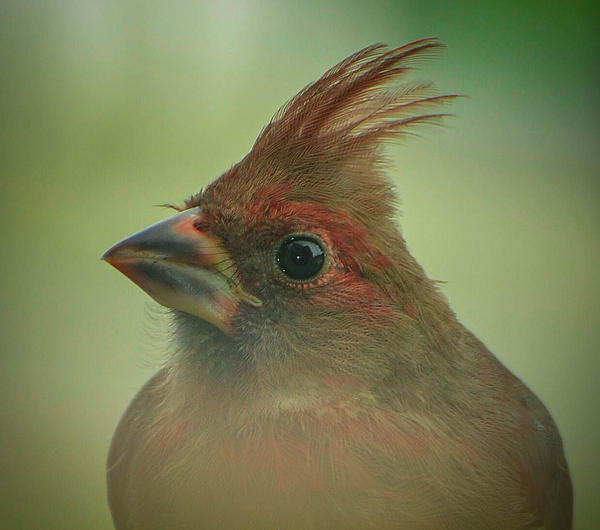 Amy Porter - Cardinal Fledgling