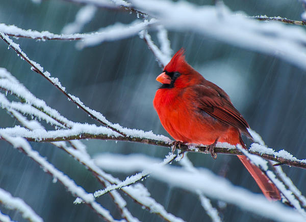 Cardinal In A Storm  Print by John Harding Photography