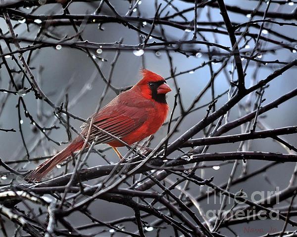 Cardinal In The Rain   Print by Nava  Thompson