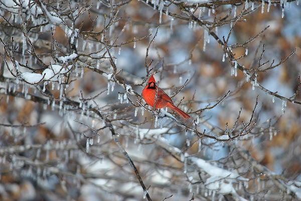 Cardinal In Winter Print by Cim Paddock