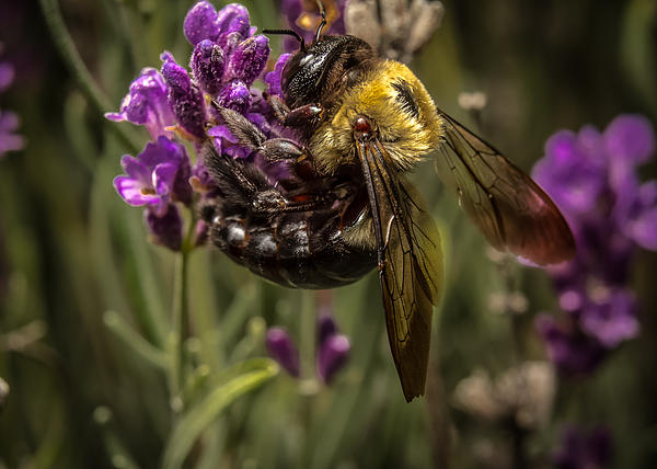Carpenter Bee On A Lavender Spike Print by Ron Pate