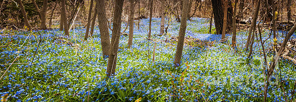 Carpet Of Blue Flowers In Spring Forest Print by Elena Elisseeva