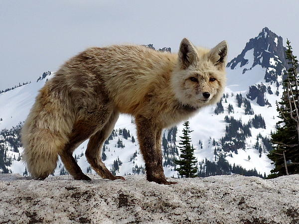 Peter Mooyman - Cascade Red Fox 1