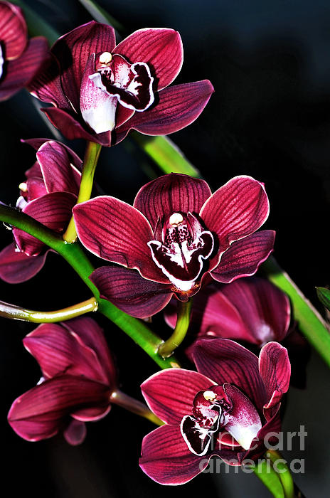 Kaye Menner - Cascading Red Orchids