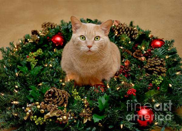 Cat And Christmas Wreath Print by Amy Cicconi