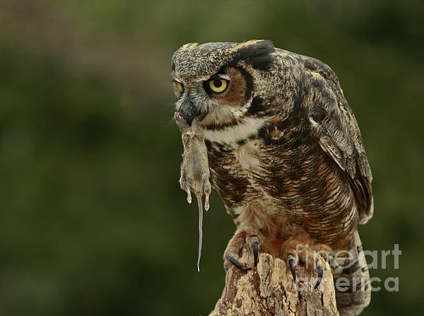 Catch Of The Day - Great Horned Owl  Print by Inspired Nature Photography By Shelley Myke
