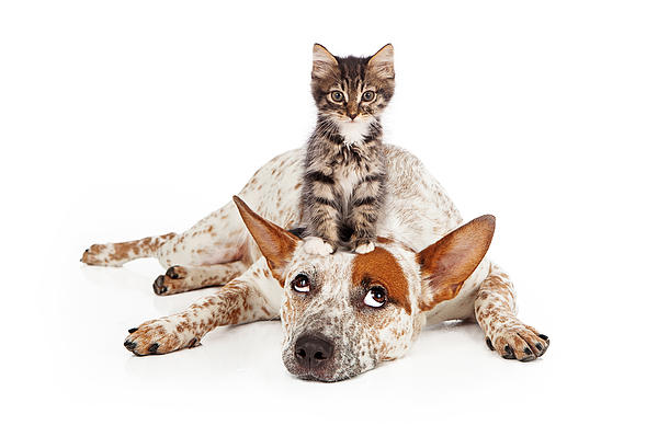 Catte Dog With Kitten On His Head Print by Susan  Schmitz