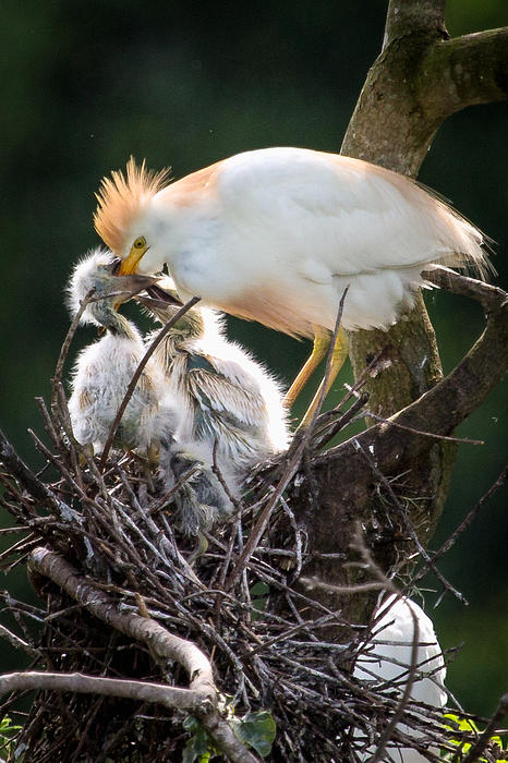 Cattle Egret Feeding Chicks Print by Capt Gregory Daley