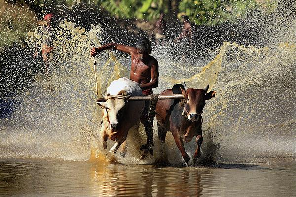 Cattle Race In Kerala South India Print by Pradeep Subramanian