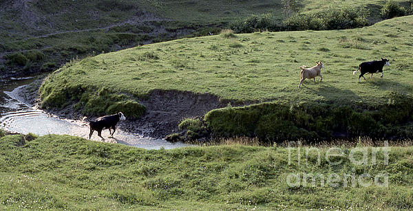Cattle Running Print by Andre Paquin