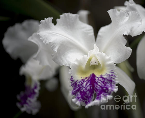 Cattleya Catherine Patterson Full Bloom Print by Terri Winkler
