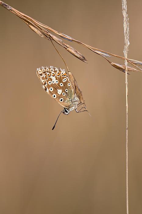 Chalkhill Blue Butterfly Print by Mark Monckton