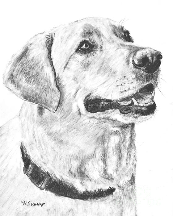 Charcoal Drawing Yellow Lab In Profile Print by Kate Sumners