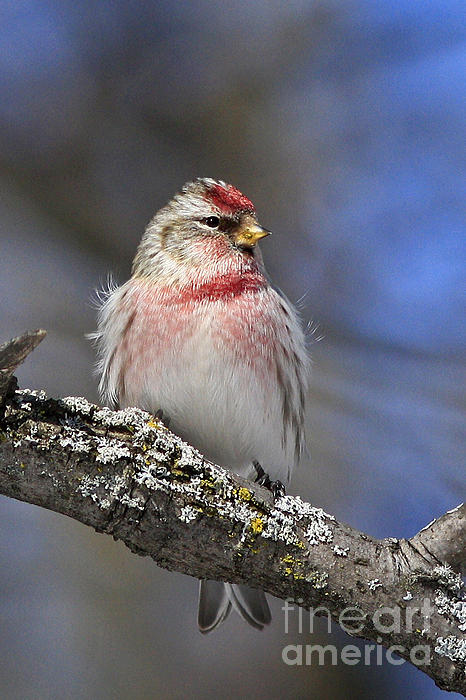 Inspired Nature Photography Fine Art Photography - Charming Red Pole Bird in the Winter