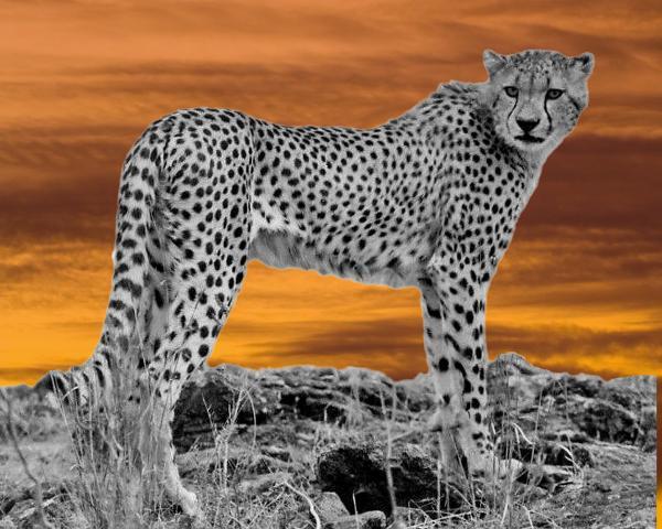 Cheetah At Dusk Print by Larry Linton