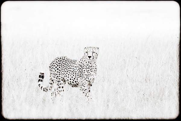 Cheetah In The Grass Print by Mike Gaudaur