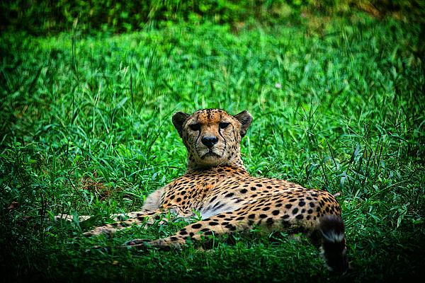 Cheetah Print by Karol  Livote