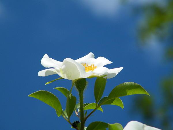 Cheryl Hardt Art - Cherokee Rose - Sun Lover