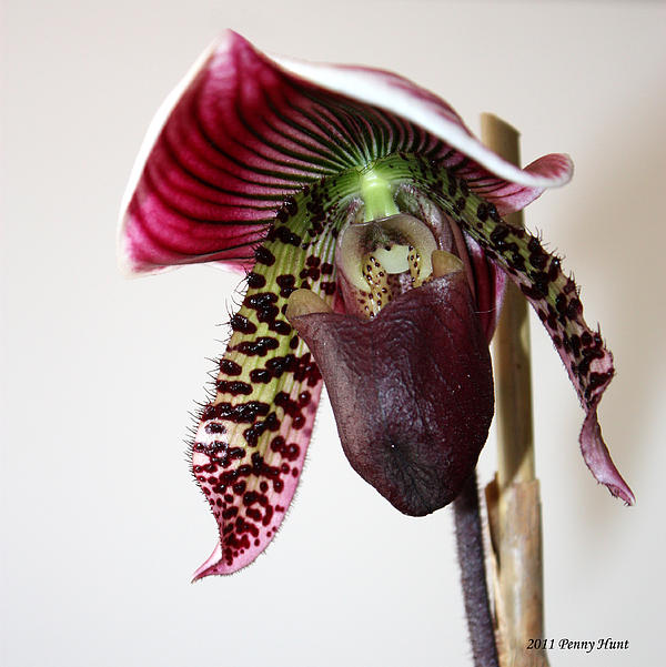 Penny Hunt - Cherry Black Lady Slipper