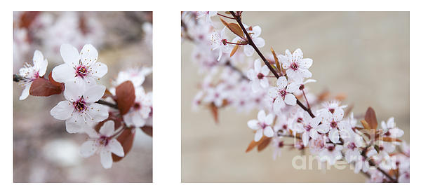 cherry blossom II Print by Hannes Cmarits