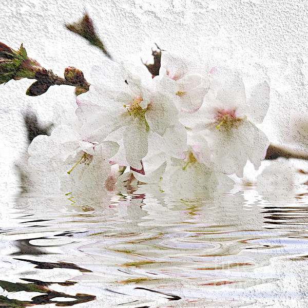 Cherry Blossom In Water Print by Elena Elisseeva