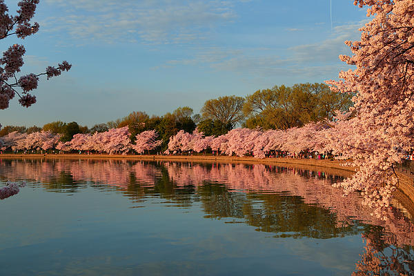 Cherry Blossoms 2013 - 001 Print by Metro DC Photography
