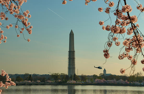 Cherry Blossoms 2013 - 012 Print by Metro DC Photography