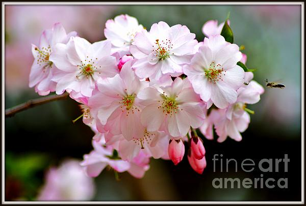 Cherry Blossoms And A Bee Print by Patti Whitten