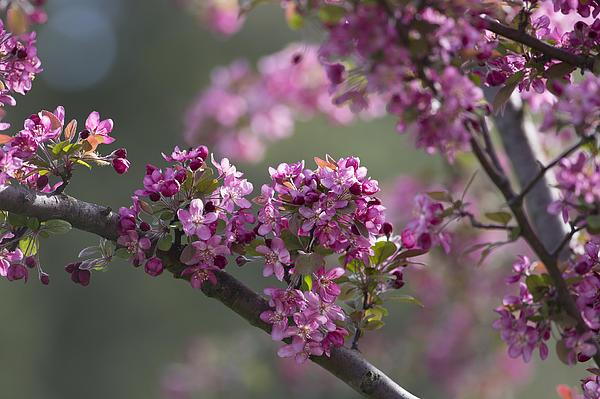Cherry Blossoms Print by Dale Kincaid