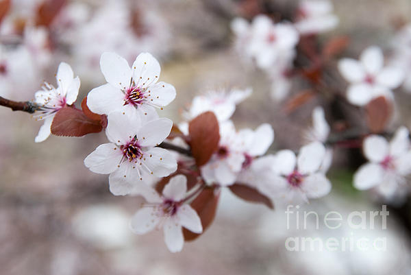 Cherry Blossoms Print by Hannes Cmarits