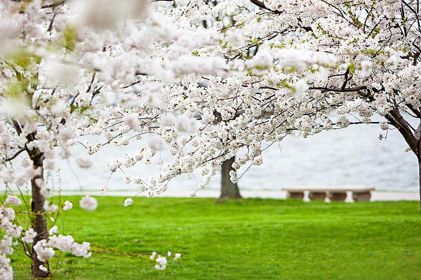 Cherry Blossoms On The Shore Of Fort Mchenry Print by Susan  Schmitz