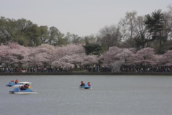 Cherry Blossoms - Washington Dc - 011310 Print by DC Photographer